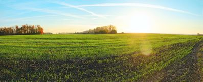 Sunny panoramic view of rows of green wheat sprouts growing in agricultural field surrounded by trees. stock photography