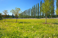 Sunny pasture lined by poplars Royalty Free Stock Image