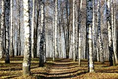 Sunny pathway in november autumn birch grove Royalty Free Stock Image