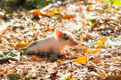 Sunny piglet Stock Image