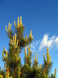 Sunny pine. Pine on a sunny summer day stock photography