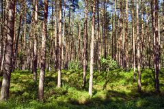 Sunny pine forest Royalty Free Stock Photo