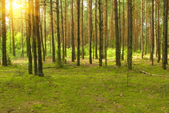 Sunny pine forest Royalty Free Stock Photography