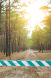 Sunny pine forest Stock Photos