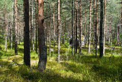 Sunny pine forest with cow-wheat flowering carpet. Pine forest with cow-wheat flowering carpet in sunlight Stock Photo