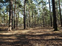 Sunny pine forest. The sun is shining brightly in a pine forest. details and close-up. stock images