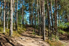 Sunny pine forest. With road, Leningrad Region, Russia Stock Image