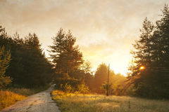 Sunny pine forest. Sunrise with rays of sun light coming through the branches Royalty Free Stock Photos