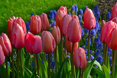 Sunny pink tulips in spring Royalty Free Stock Image