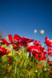 Sunny poppies. Poppies on the Golan Heights in spring Stock Image