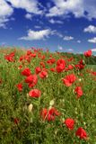Sunny poppies royalty free stock images