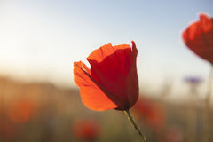 Sunny poppy blooming  Brurred Meadow Stock Photography