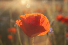 Sunny poppy blooming Brurred Meadow royalty free stock images