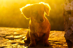 Sunny puppy. Sad little puppy in sunlight Royalty Free Stock Images