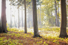 Sunny pure forest. Autumn sunny pure forest with reflection Stock Photography