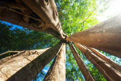 Sunny rainforest with giant banyan tropical tree. Cambodia Royalty Free Stock Photo