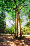 Sunny rainforest with giant banyan tropical tree. Cambodia. Amazing sunny day at rainforest with giant banyan tropical tree and sunbeams. Nature landscape and Stock Photo
