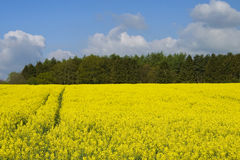 Sunny raps field. Bright sunny spring yellow raps field Royalty Free Stock Photos