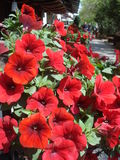 Sunny red petunias Royalty Free Stock Photography