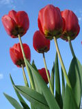 Sunny red tulips. Fresh red tulips in the sunlight in the garden, with blue sky as background Royalty Free Stock Photography