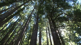 Sunny redwoods spin stock footage
