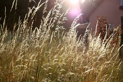 Sunny reed. Golden reed in the sunrise Royalty Free Stock Image