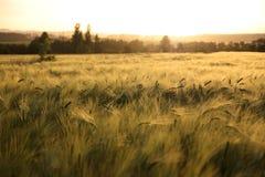 Sunny ripe crop - yellow corn field during sunrise Stock Photos