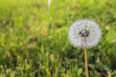 Sunny round Dandelion on the background of green grass stock photo