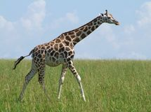 Walking Giraffe in african grassland Royalty Free Stock Photos