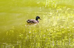 Wild duck swimming in a pond. Sunny scenery showing a mallard swimming in a lake at summer time Stock Images