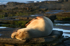 Sunny Sea Lion Royalty Free Stock Image
