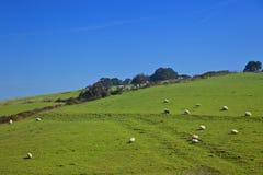 Sunny sheeps Stock Image