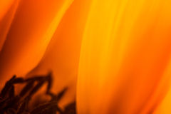 Sunny Side Up. A macro photograph of a Sunflower Stock Image