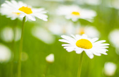 Sunny side up. Daisies being blown in the wind Royalty Free Stock Photo