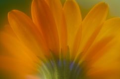 Orange Daisy-Like Flower. Orange daisy like flower with purple center Royalty Free Stock Images
