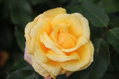 Sunny Sky Rose rosegarden dedans Photos libres de droits