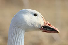 Sunny snow goose Stock Photo