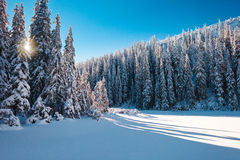 Sunny snowy forest landscape. Sun shine brightly through the  snowy fir trees in the forest and clearing covered with a large layer of the snow Royalty Free Stock Photo