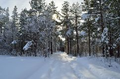 Sunny and snowy pine tree forest with small snowy forest road. Center frame Royalty Free Stock Photography