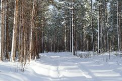 Sunny and snowy pine tree forest with small snowy forest road.  Royalty Free Stock Photo