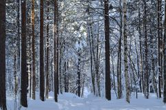 Sunny and snowy pine tree forest with small snowy forest road. In the arctic circle Royalty Free Stock Photo