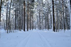 Sunny and snowy pine tree forest with small snowy forest road. In the arctic circle Stock Images