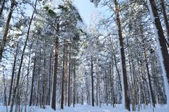 Sunny and snowy pine tree forest with small snowy forest road. In the arctic circle Stock Photography