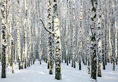 Sunny snowy winter birch grove Royalty Free Stock Photography