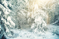 Sunny snowy winter forest Royalty Free Stock Images