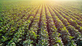 Sunny soya plantation. Sunny plantation with growing soya Royalty Free Stock Photography