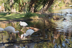 Sunny spotlight on ibis in shallow water Royalty Free Stock Photography