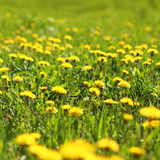Sunny spring background field yellow dandelions Stock Photos
