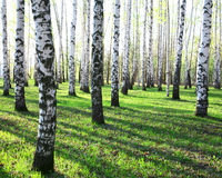 Sunny spring birches Royalty Free Stock Photography