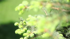 Sunny spring day. Beautiful green background of spruce young twigs. Macro shooting, blurred background.